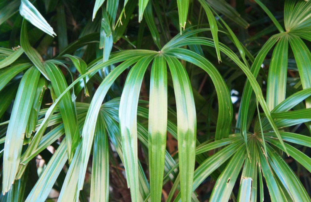 broadleaf lady palm plant