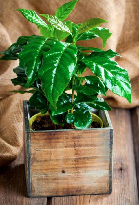 coffee plant box