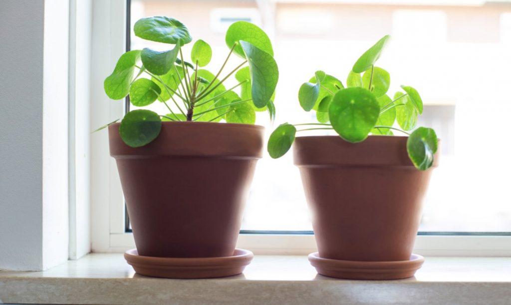 pilea peperomioides plants