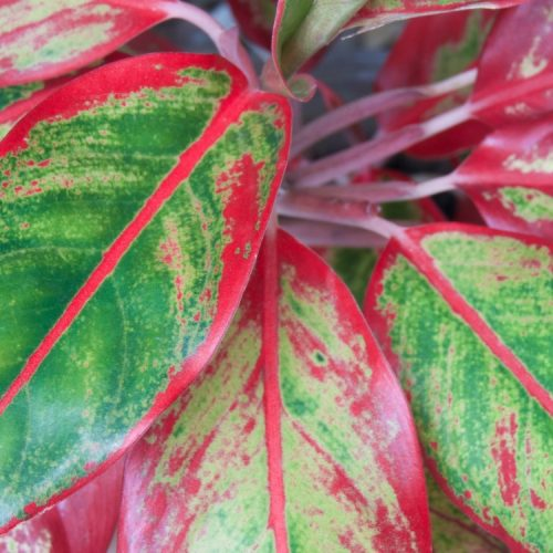 red chinese evergreen houseplant