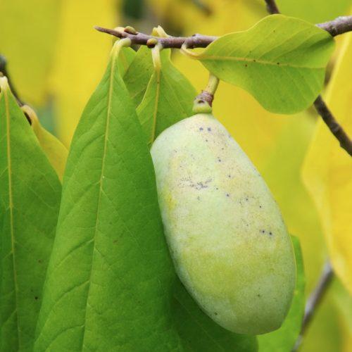 paw paw tropical fruit