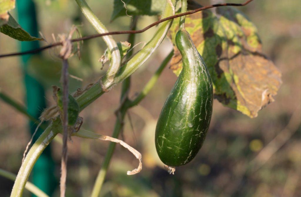 weird cucumber