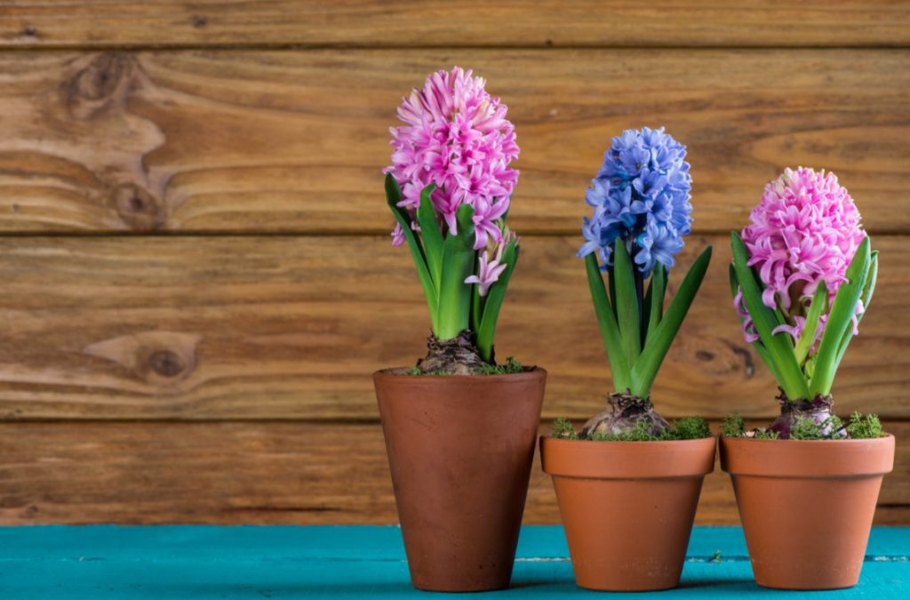 spring potted bulbs
