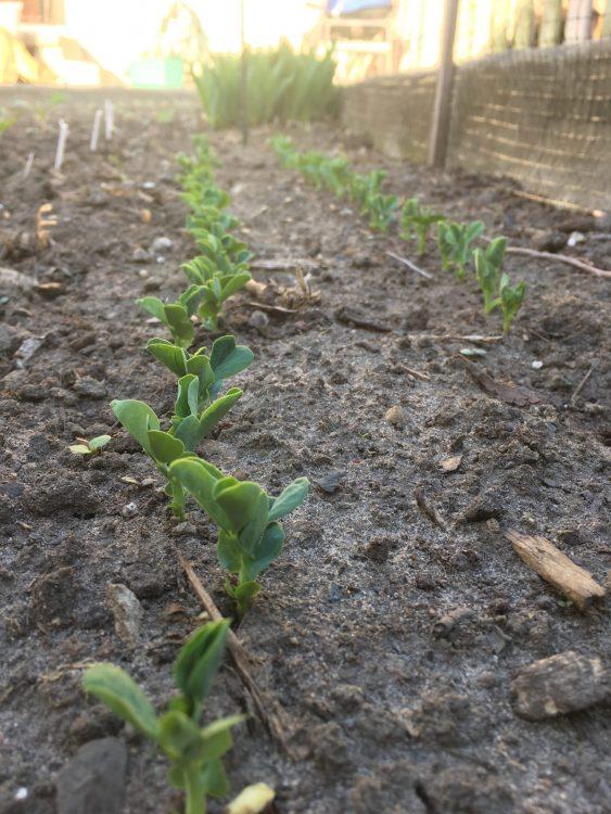 peas germinating