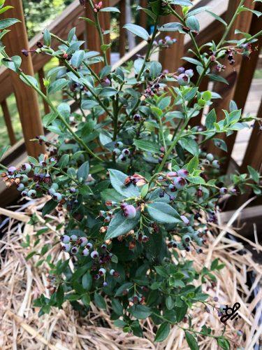 pruned blueberry bush