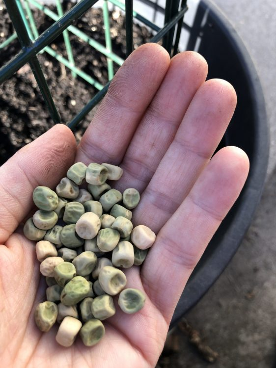 shelling pea seeds in hand
